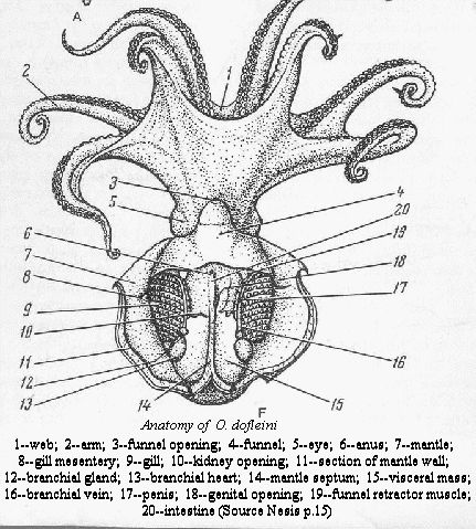 Giant pacific octopus anatomy