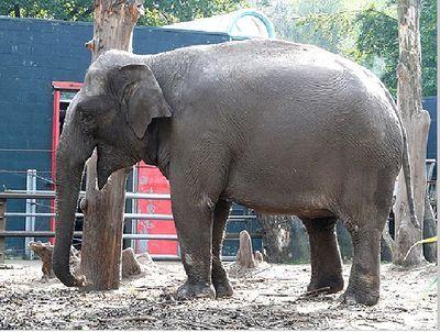 Aziatische olifant - Wiki