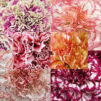 Florverde® Carnations - Novelties - 200 Stems - Sam's Club