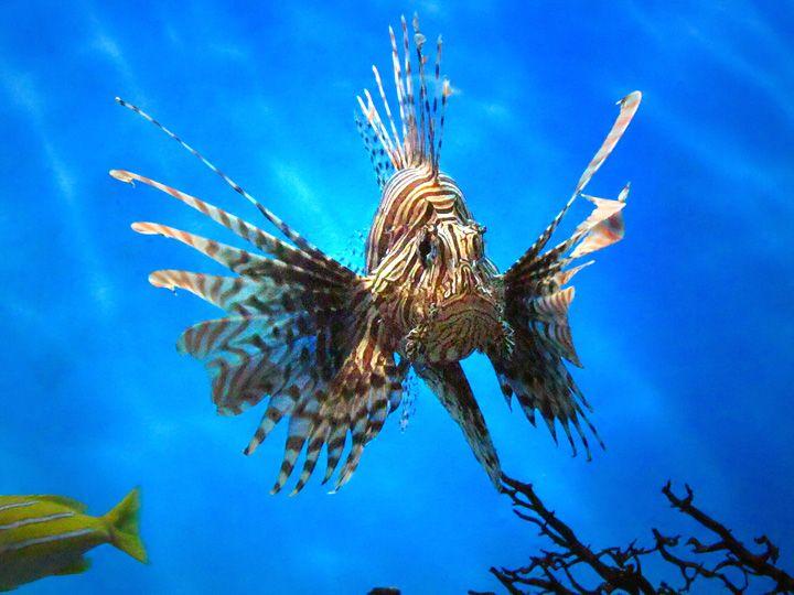 Uno de los peces mas venenosos en el mundo. Pez Leon Venenoso