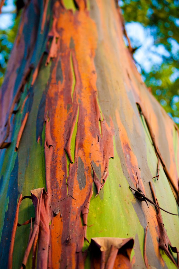 This form of eucalyptus tree grows in Maui rainforests where the bark peels back to reveal a gorgeous range of colors.   http://www.environmentalgraffiti.com/forests/news-most-colourful-tree-earth