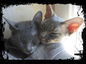 L'élevage ce n'est pas juste faire naître des «chatons trop mignons». C'est au contraire beaucoup de contraintes, que ce soit au niveau de l'entretien, de l'hygiène, des installations, mais aussi des tensions qui apparaissent souvent lorsque l'on a des adultes entiers remontés aux hormones. Des clans se forment, la maison devient un bunker avec des … Continuer la lecture de «Korats adultes à vendre»