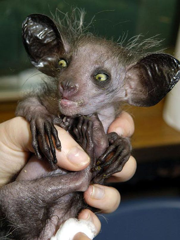 Actual animal! Called an Aye-aye, these creatures can be found only on the island of Madagascar. These rare animals may not look like primates at first glance, but they are related to chimpanzees, apes, and humans.