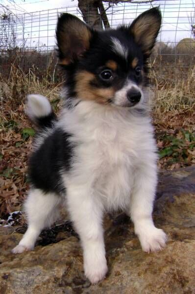 This Papillon is too precious! Papillion puppies