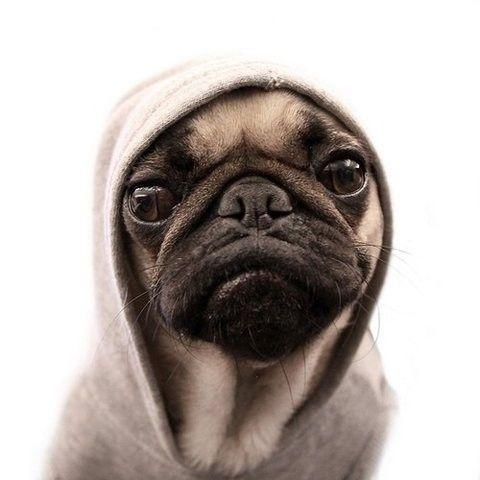 PugPuppies, Hoodie, Dogs, Thug Life,  Pug-Dog, Pug Life, Thug Pugs, Pugs Life, Animal