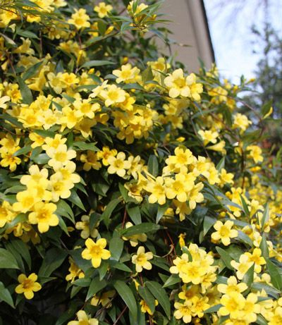 Fragrant Yellow Blooms on an Evergreen Vine - This Jasmine variety is the most fragrant yellow blooming vine you can find. It has an unmistakable, sweet scent.    Plant several Yellow Jasmine Vines for a scent you can smell from a distance.    Blooming in early spring and again in the fall, these golden, bell-shaped flowers are just as...