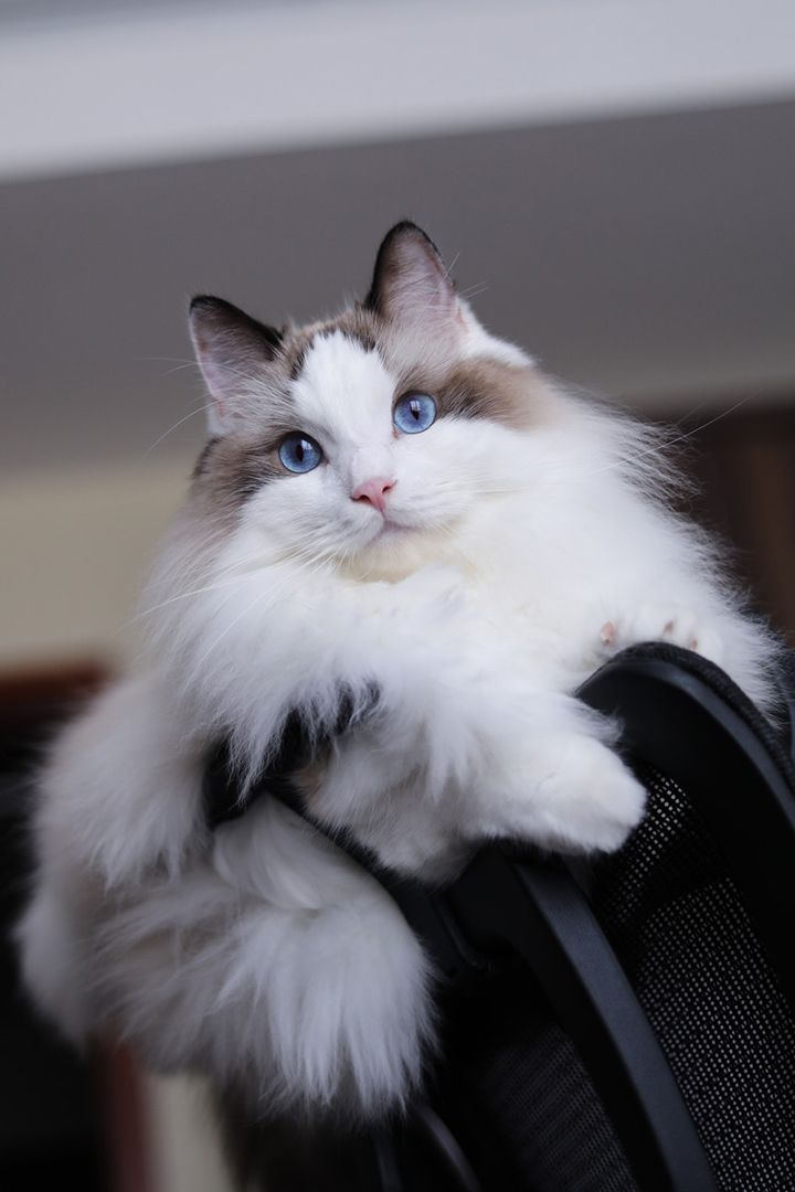 Are Ragdoll Cats Hypoallergenic In 2020 Ragdoll Cat Cat Allergies Cats