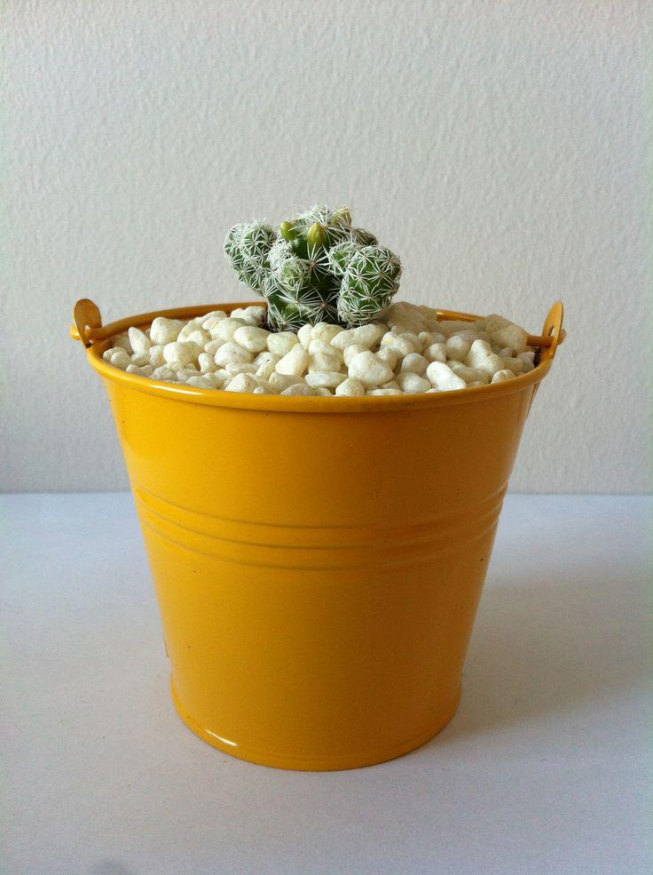 Cactus Jaune www.plantites.com