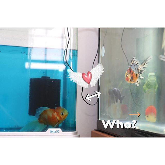 【goldfish_angel33】さんのInstagramをピンしています。 《What's wrong?Crew comes to watch him alternately. He looks lonely, too  隔離された桜東錦くんはずっと本水槽見ています。やっぱり寂しいんでしょうかね。本水槽の子たちも心配そうにみたりしてるんですよ。これ、ほんと! 特に東錦くんはよく見てるんですけど彼らは同じ養魚場の出身なので何かあるんですかね。カハラさんの所から一緒にきましたし😆 西村店長がおっしゃってましたが同じ養魚場の子は同じ病気に同時になったりするらしいんですよね。 目には見えない不思議な繋がりみたいのがあるんでしょうか。 画面右に、見たことない不思議な物体が写っております😨  #金魚 #水槽 #アクアリウム  #goldfish #goldfishunion #goldfishtank #aquarium #goldfishofinstagram #watertank #goldfishlover #instagoldfish #goldfishinstagram…