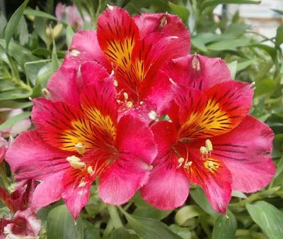 Plants are the Strangest People: Pretty pictures: Alstroemeria cvv.