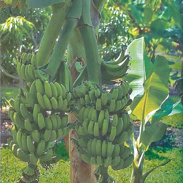 Short essay on Banana (Musa paradisiaca)