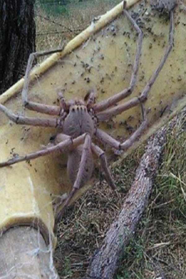 Rescued Spider Is The Size Of A Pug Huntsman Spider Giant