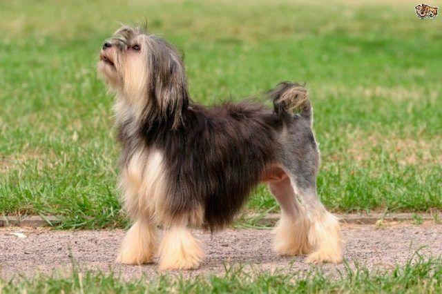 3.Lowchen Lowchen adalah anjing kecil yang tingginya 30 hingga 33 cm untuk anjing betina dan 33 hingga 36 untuk anjing jantan. Sedangkan beratnya 4 hingga 6 kg untuk betina, sedangkan untuk jantan 5 hingga 8 kg. Lowchen adalah ras anjing yang berasal dari Jerman dan Juga Prancis.  Jika diterjemahkan nama Lowchen berarti anjing singa, dengan nama yang memiliki arti tersebut, mungkin sahabat berfikir bahwasanya Lowchen adalah anjing galak atau anjing yang mudah tersinggung.  Akan tetapi, nama…
