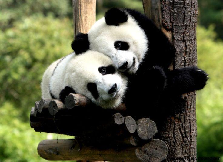baby panda -