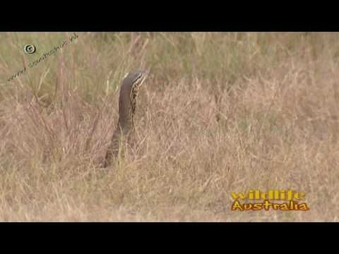 Gould's goanna (Varanus gouldii) is a day-active, ground-dwelling reptile, it rarely climbs trees. Looking for broadcast footage? Don't shoot! Contact http://www.stockshot.nl/ ©