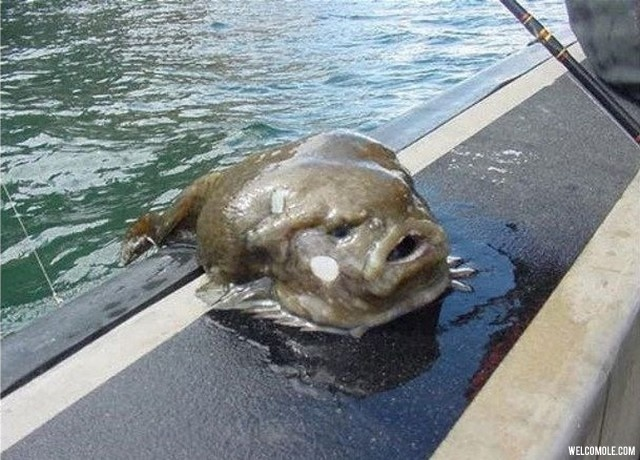 Ugliest-fish-ever (10)