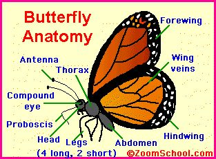 Butterfly Body Parts | ... biggest smallest classification butterfly gardens what is a butterfly
