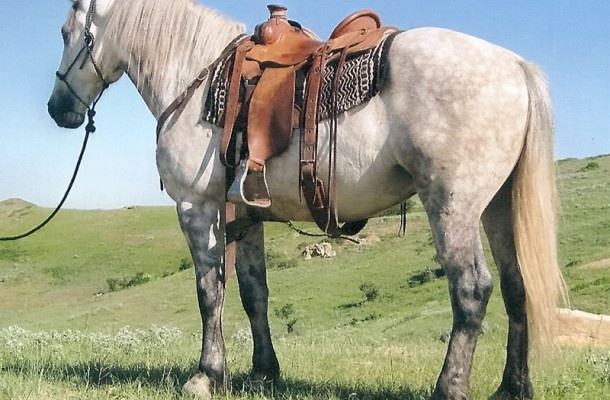 Percheron Quarter Horse Cross I See Him In My Future