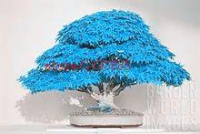 20 unids/bolsa azul Bonsai semillas del árbol de arce semillas de árboles bonsai. rare japonés cielo azul arce semillas. plantas de balcón para el hogar jardín(China (Mainland))