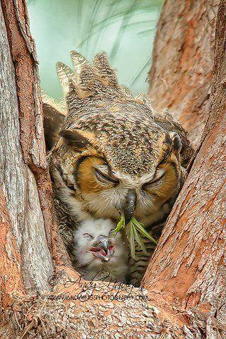 Owl tending to her chick #cute #love #family #happy #chick #owl #baby #tree #wild #bird #animal