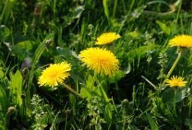 Sytě žlutá a skromná květina je královnou jarních luk, zahrad a kdejakých trávníků. Smetanka královská, lékařská, lidově nazývaná pampeliška vyrůstá z dlouhého a hlubokého kořene a je v léčitelství dost ceněná. K léčbě se využívá celá i s kořenem.