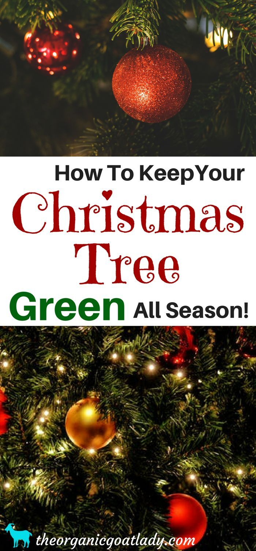 How To Keep A Christmas Tree Alive Christmas Tree Live Longer Green Christmas Tree How To Make Christmas Tree