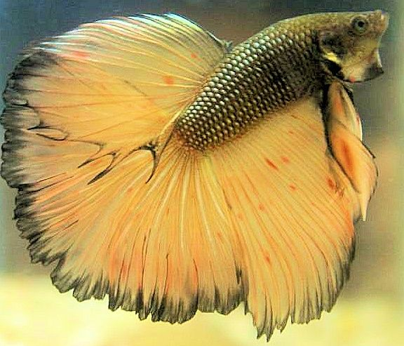 275 best betta fish images on pinterest betta fish care for How often do i feed my betta fish
