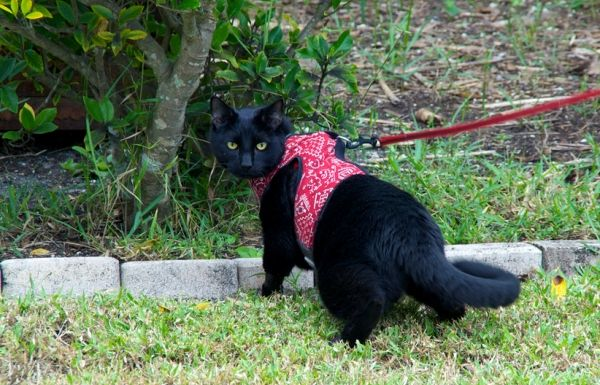 By Julia Williams  Tips for Leash Training Your Cat