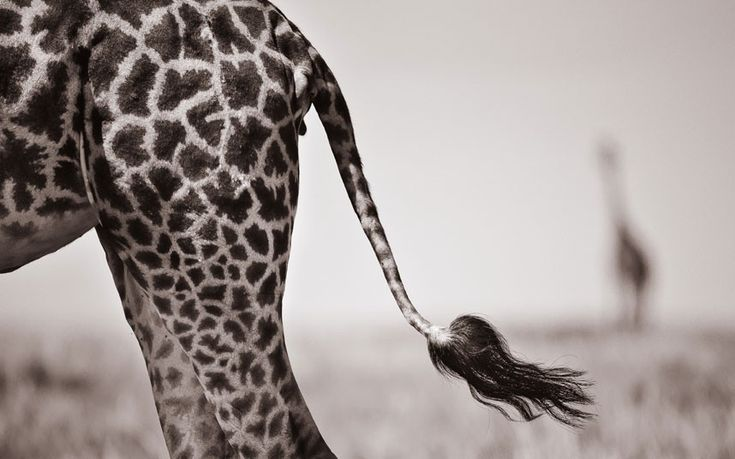 Giraffe's tail Picture: David Lloyd / Barcroft Media