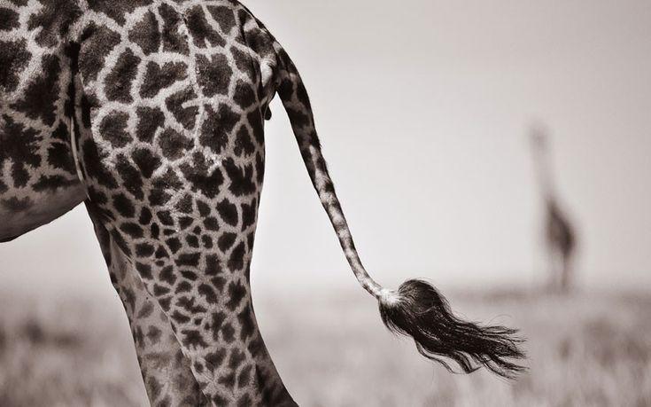 Giraffe's tail Picture: David Lloyd / Barcroft Media