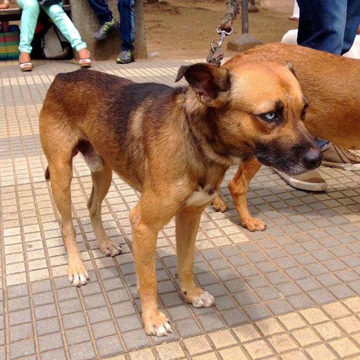 TYSON. Este hermoso y noble perrito fue recogido mientras perseguía a Angie cuando estaba en celo. Es muy cariñoso y cuidandero. De tamaño mediano y 16 kilos de peso. Tiene un ojo azul, lo que lo hace muy particular!!!