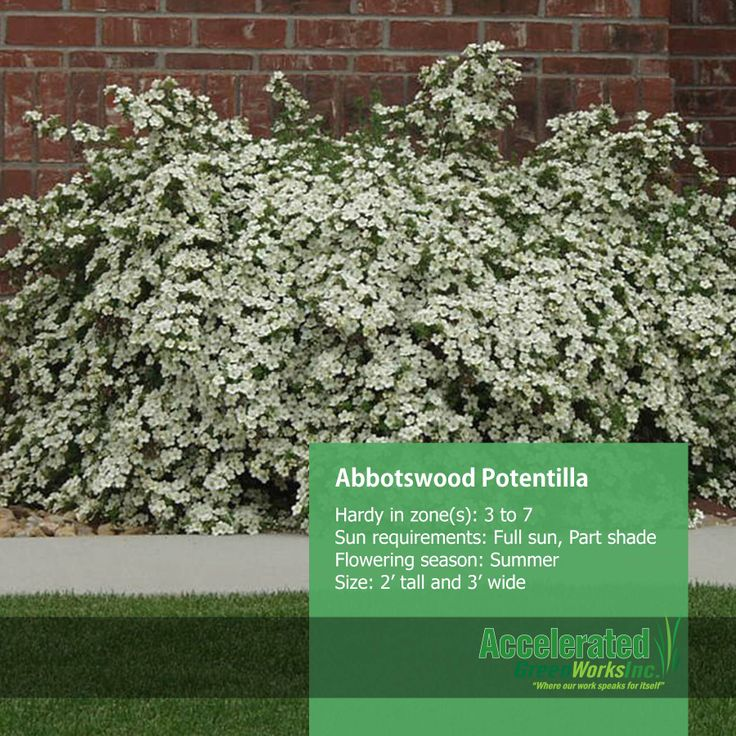 7 best Potentilla images on Pinterest Garden ideas Botany and Frost