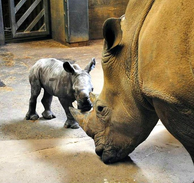 After a 16 month wait, the Colchester Zoo announced the birth of a female Southern White Rhinoceros calf to female Rhino Emily on April 13. Read more today on ZooBorns.com and at http://www.zooborns.com/zooborns/2013/04/white-rhino-calf-charges-in-at-colchester-zoo.html
