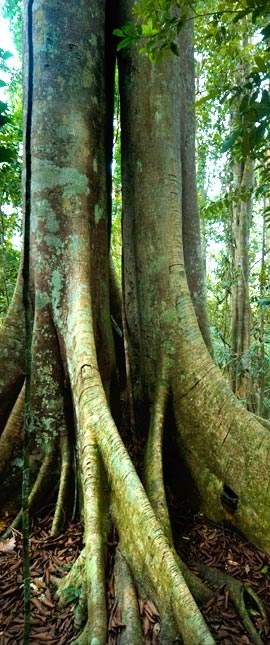 One of the many amazing trees that populate the Amazon Rainforest.