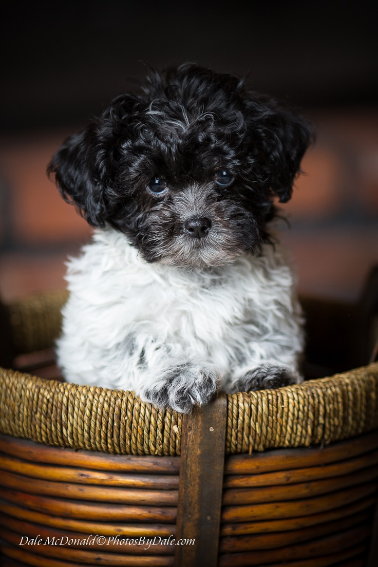 Mr Shizapoo Aka Shih Poo That S Half Shih Tzu Half Poodle Oh Yes My Real Name Is Buddy Now Somebody Help M Cute Little Dogs Shih Poo Puppies Shih Poo
