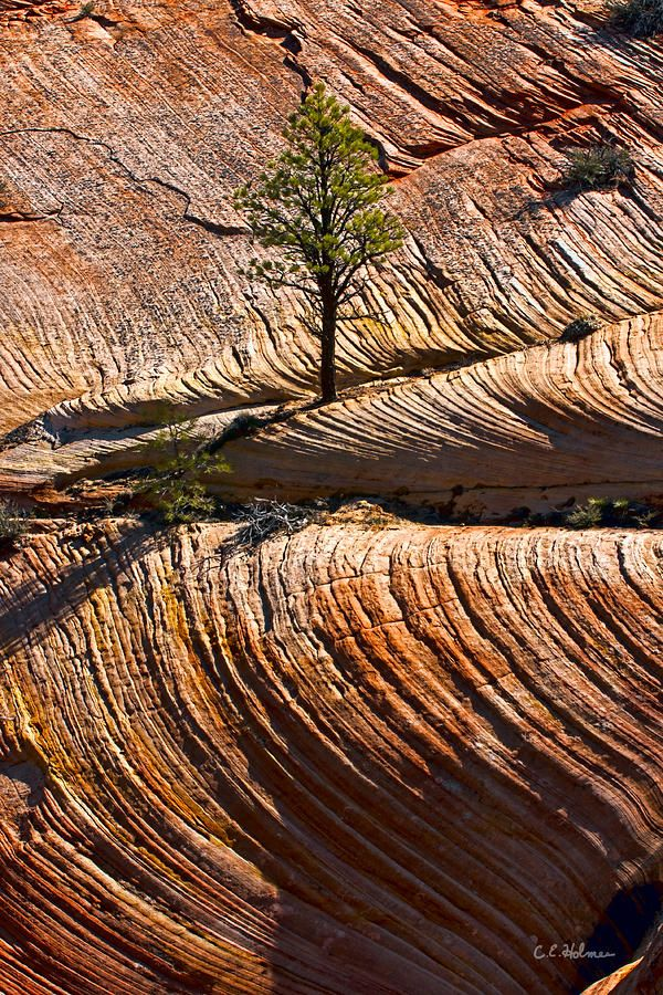 Tree in Flowing Rock by Christopher Holmes, Zion National Park