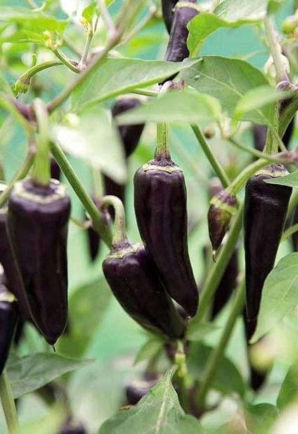 Pepper 'Gusto Purple' The peppers were dark purple to ...