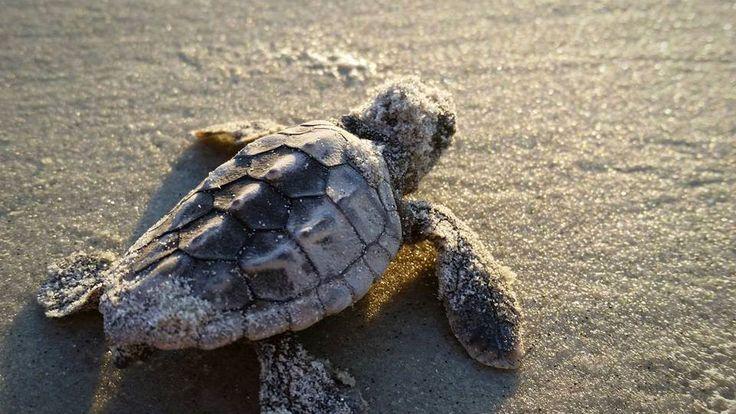 Hilton Head Island... Home Of The Loggerhead Sea Turtle