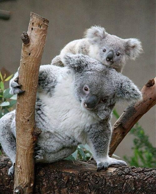 wonderful mom and baby koalas !!