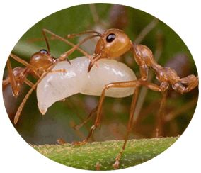 Want to know how to get rid of weaver ants? Here's all you need to know about ants removal techniques to get rid of weaver ants from your garden