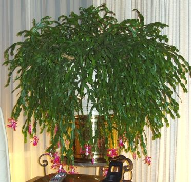 113 best Christmas Cactus images on Pinterest | Christmas cactus ...