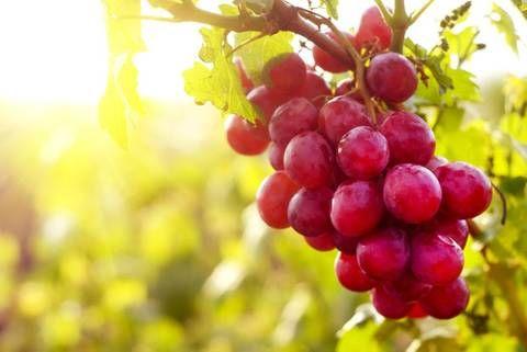 8. Rote Trauben bauen Fettzellen ab