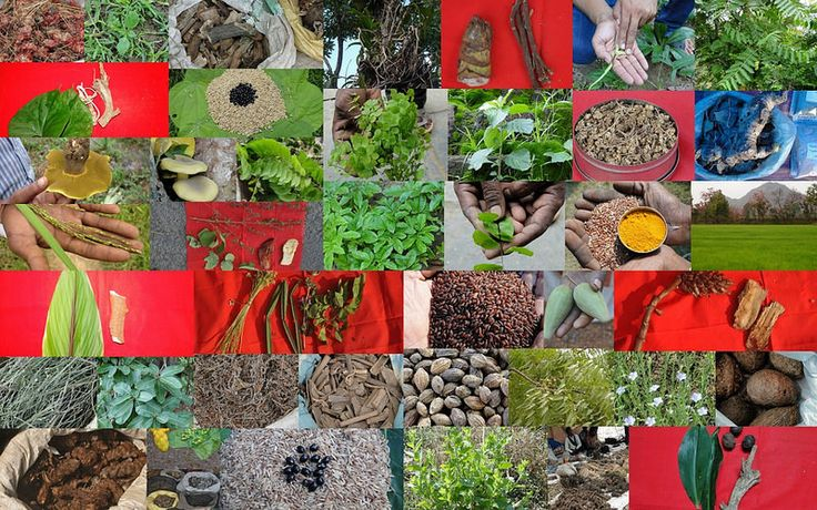 Medicinal Rice based Tribal Medicines for Diabetes Complications and Metabolic Disorders (TH Group-886) from Pankaj Oudhia's Medicinal Plant Database