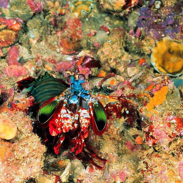 Superpowers don't just exist in comic books. Mantis shrimp have 16 color-receptive cones in their eyes. Compare that to humans who have only 3! That means these shrimp can see colors humans have never seen before.  #SuperheroDay #shrimp #science #ocean #oceanlife