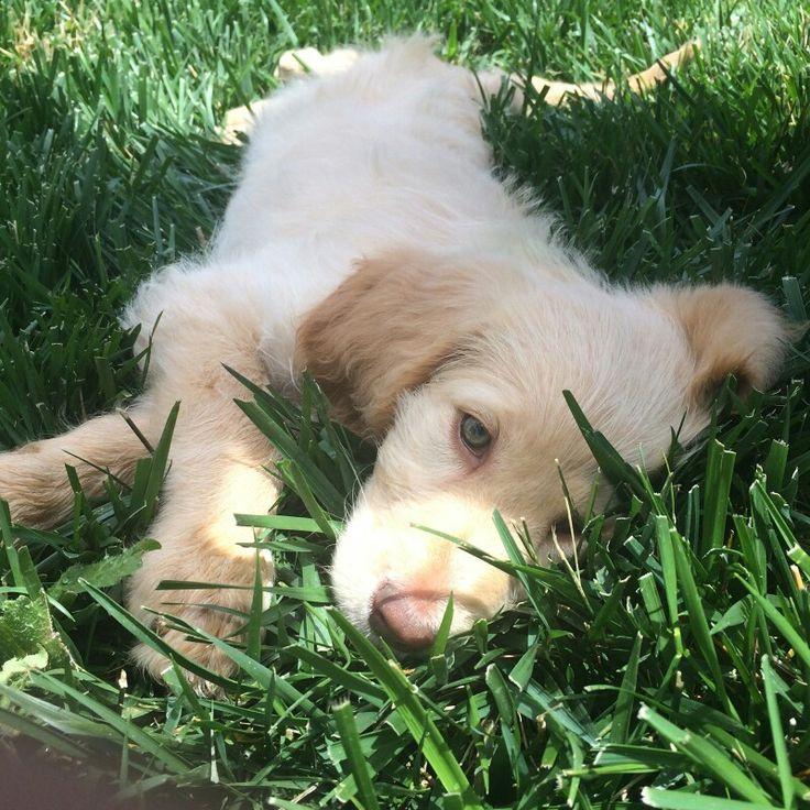 Goldendoodle at 8 weeks (Belle)