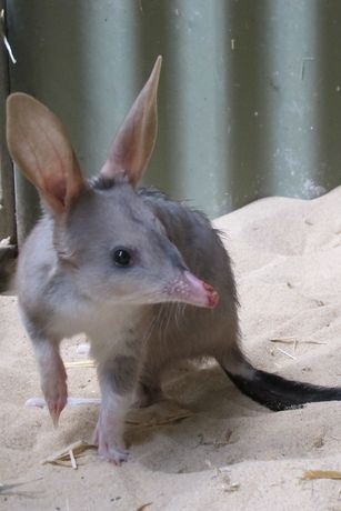 Easter Bilby Arrives at Featherdale.     http://www.featherdale.com.au/latest-news/41/easter-bilby-arrives-at-featherdale/