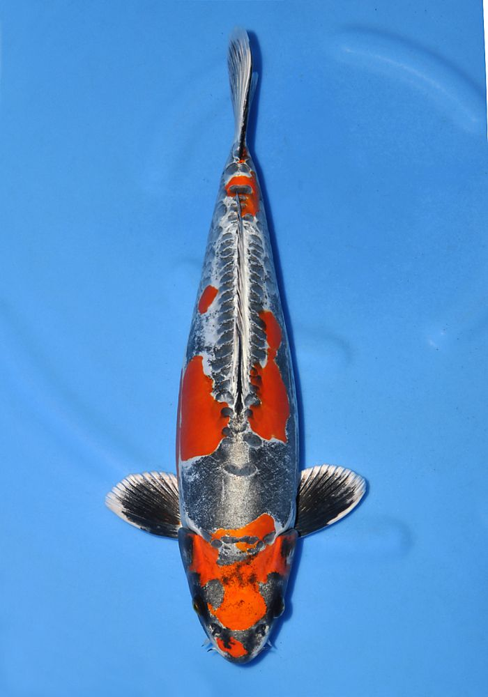 34 best images about koi on pinterest terry o 39 quinn koi for Purple koi fish for sale