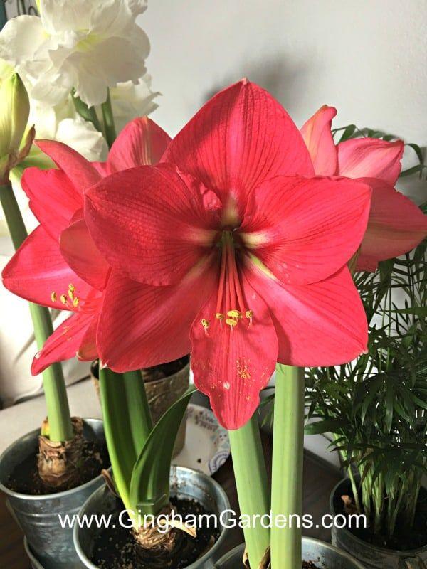 How To Grow Amaryllis Indoors The Perfect Winter Flower Gingham Gardens Amaryllis Flowers Amaryllis Plant Amaryllis Care