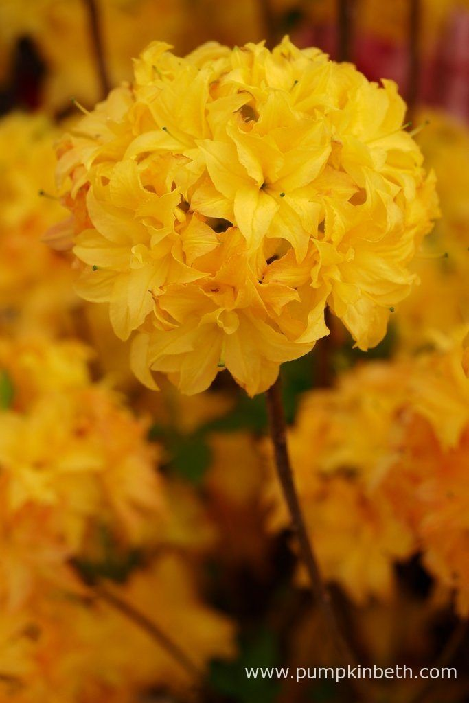 Rhododendron 'Sun Star'.