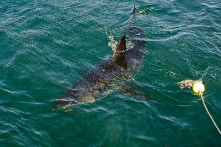 Dyka med vithaj i Sydafrika #Cape #Town #Kapstaden #South #Africa #Sydafrika #Travel #Resa #Resmål #Afrika #Vacation #Semester #Adventure #Äventyr #Shark #Haj #Vithaj #Swim #Diving #Dyka #Simma